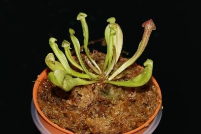 Sarracenia Purppurea